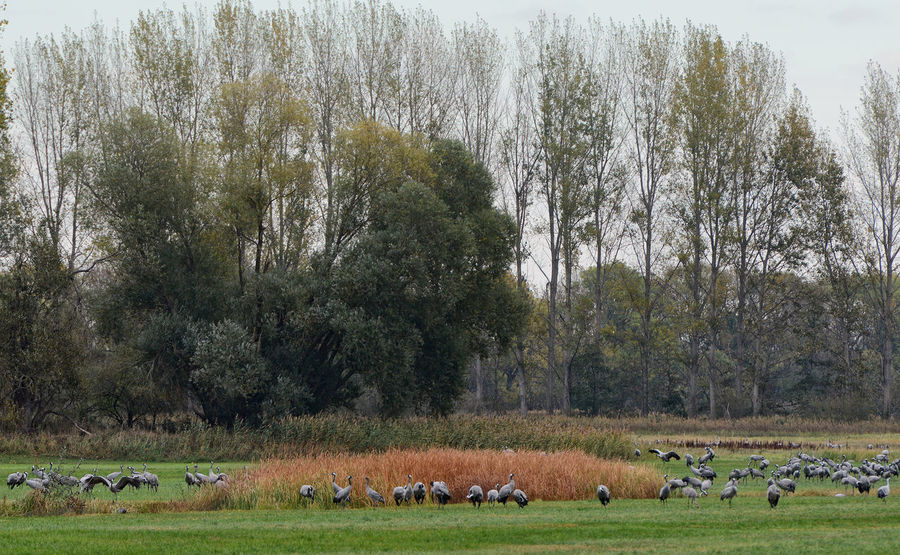 flock of crane birds graze on a meadow at Rhinluch region at Brandenburg (Germany). Autumn bird migration Group Of Animals Animal Themes Animal Wildlife Animal Tree Animals In The Wild Grass Large Group Of Animals Landscape Outdoors Day Nature Crane - Bird Crane Kranich Kraniche Bird Migration Vogelzug Havelland Havelland Germany Havellandschaft Linum Rhinluch