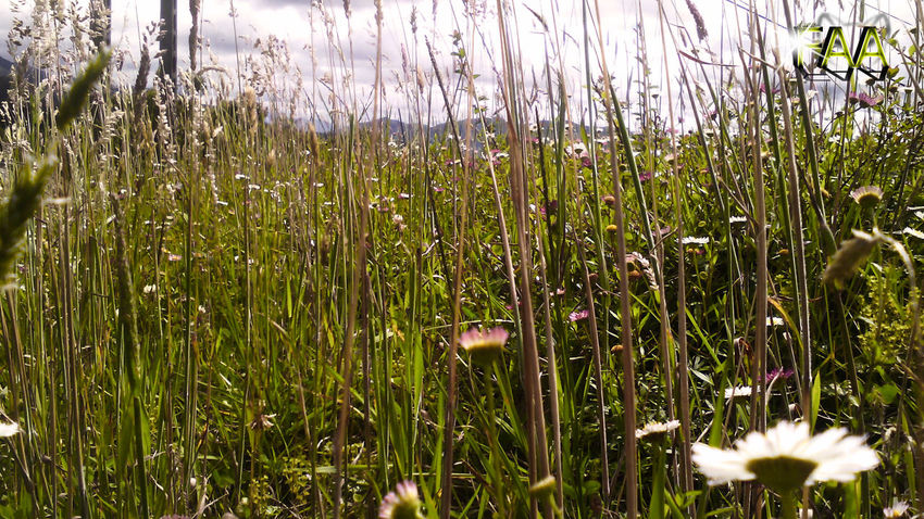 Beauty In Nature Close-up Day Field Flower Fragility Freshness Grass Growth Nature No People Outdoors Plant Tranquility