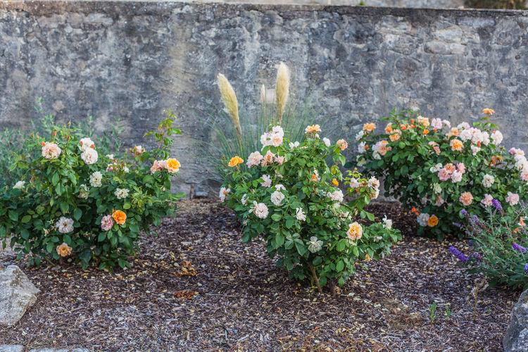 Rose bushes in