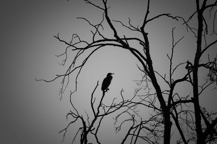 Bird Bare Tree Animal Wildlife Branch Silhouette Nature One Animal Beauty In Nature Sky Kormoran Tree Black & White Gloomy EyeEmNewHere The Great Outdoors - 2017 EyeEm Awards The Week On EyeEm