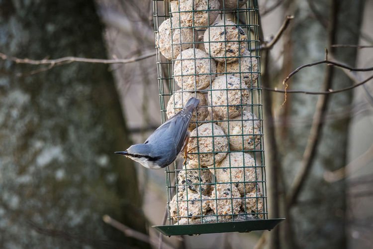 Nuthatch Bird Animal Themes Animal Animals In The Wild Animal Wildlife One Animal Bird Feeder Tree Nature Branch Close-up Outdoors Nuthatch Nuthatch At The Feeding Place Nuthatch Feeding