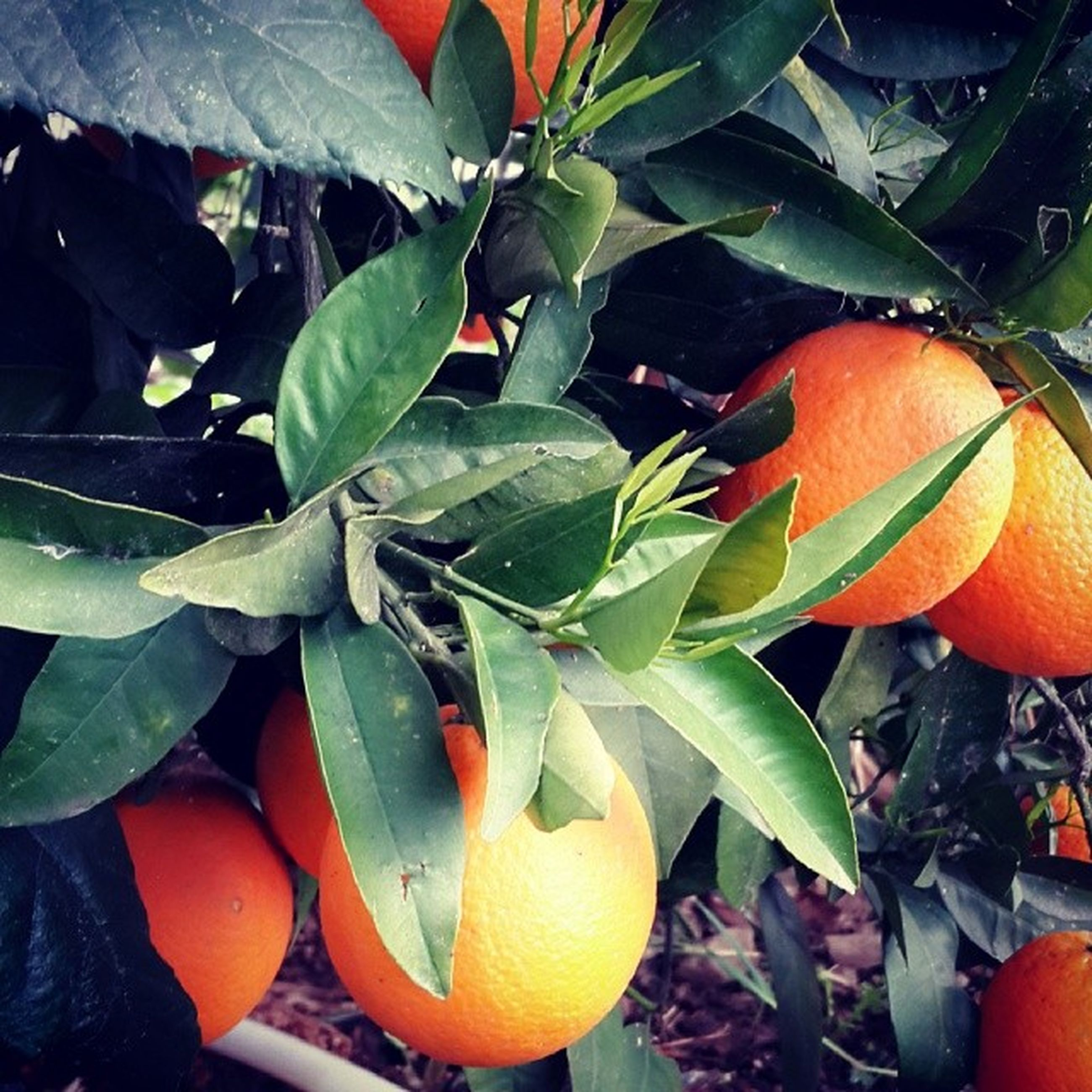 leaf, orange color, growth, freshness, plant, nature, close-up, beauty in nature, food and drink, sunlight, fruit, green color, orange, no people, tree, outdoors, day, red, yellow, focus on foreground