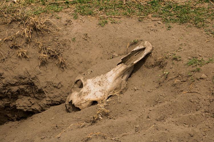 Preys Death Desert Drought Hot Kenya Zebra Animal Skull Animal Themes Climate Change Day Hunt Mammal Nature No People Old Outdoors People Safari Sand Skull Summer Warm Zebra Skull