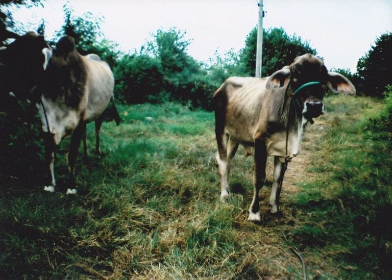 moo Lomography Believeinfilm Animals Film