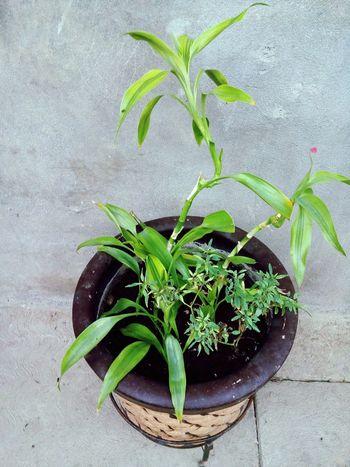 Plant Growth Herb Leaf Alternative Medicine Green Color Herbal Medicine Nature Indoors  No People Close-up Day Freshness .
