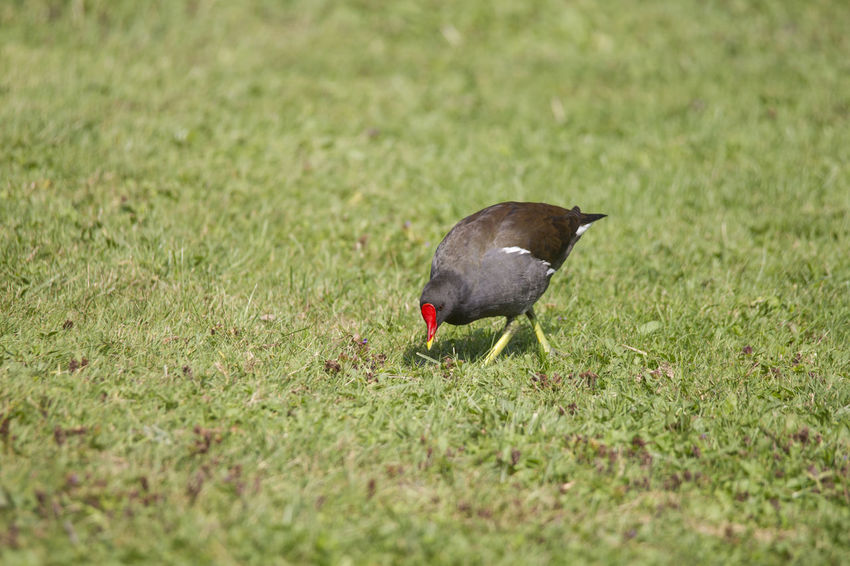 Grass Bird Animal Themes Animal One Animal Animal Wildlife Animals In The Wild Vertebrate Plant Green Color No People Field Land Selective Focus Day Nature Outdoors Side View Survival Growth