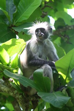 Monkey Tanzania Zanzibar Tanzania Colobus Monkey Plant Part Leaf Animal Themes Animals In The Wild Animal Animal Wildlife One Animal Vertebrate No People Tree Plant Green Color Sitting Growth Branch