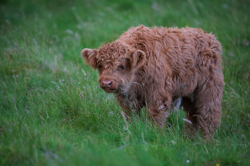 EyeEm Nature Lover Highland Cattle Animal Animal Hair Animal Themes Brown Cattle Day Domestic Domestic Animals Domestic Cattle Field Grass Herbivorous Highland Cattle Land Livestock Mammal Nature No People One Animal Outdoors Pets Plant Vertebrate
