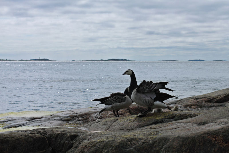 Beauty In Nature Birds Cloud - Sky Cloudy Day Goose Nature No People Outdoors Sea Sky Suomenlinna Water