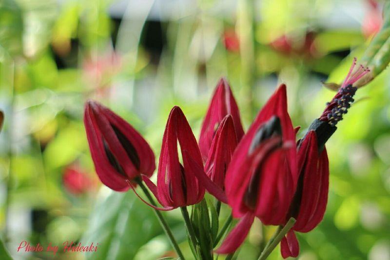 豊平公園 花 Flower パボニア インテルメディア