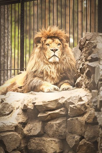 Wildlife & Nature Zoo Animals  Zoo Wildlife Animals Cat Wildcats Wildcat Cats Lion