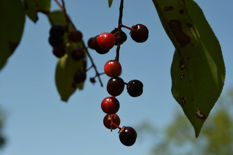 Low angle view of cherries on tree against sky