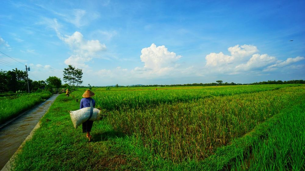 Woman farmer in Bantul. Scenic View Scenic Photograghy INDONESIA Sony A6000 Likeforlike Like4like Landscape Photography By @jgawibowo Shot By Arif Wibowo Eyeem Landscape Official Photo Club📷 EyeEmNewHere EyeEm Landscape Sawah Sawah Padi Bantul Pedesaan EyeEm Street Photography EyeEm Gallery EyeEm Nature Lover Photography EyeEm Streets Petanian Pertanian