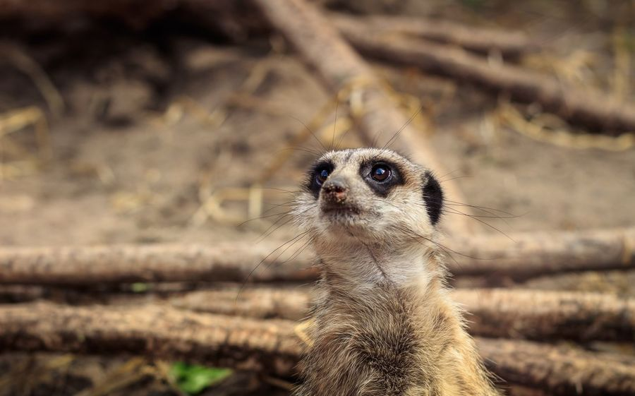 Little earth man Meerkat Animal Themes One Animal Animal Animal Wildlife Animals In The Wild Meerkat Focus On Foreground No People Close-up Mammal Nature Land Day Animal Body Part Field Animal Head  Looking Outdoors Portrait Vertebrate