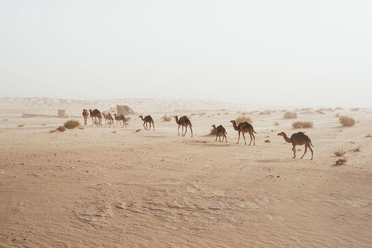 Camels Walking On Arid Landscape In Desert Against Clear Sky