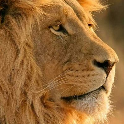 Lion Aslan GalataSaray Igergs