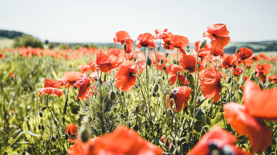 Close-up of red poppy flowers on field