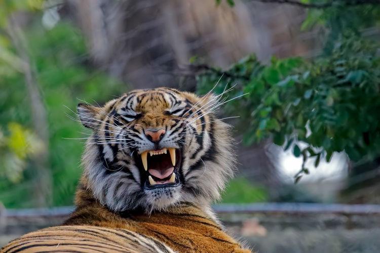 Close-Up Of Tiger Yawning While Lying At Zoo