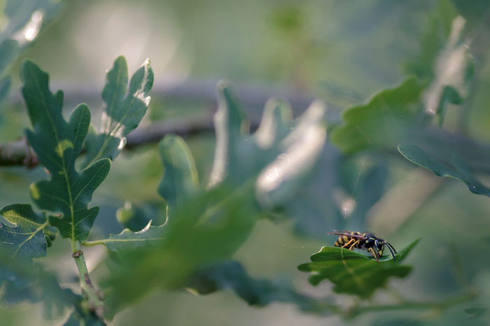 Vespidae Animal Animal Themes Animal Wildlife Animal Wing Animals In The Wild Beauty In Nature Close-up Day Focus On Foreground Green Color Growth Insect Invertebrate Leaf Nature No People One Animal Outdoors Plant Plant Part Selective Focus Wasp