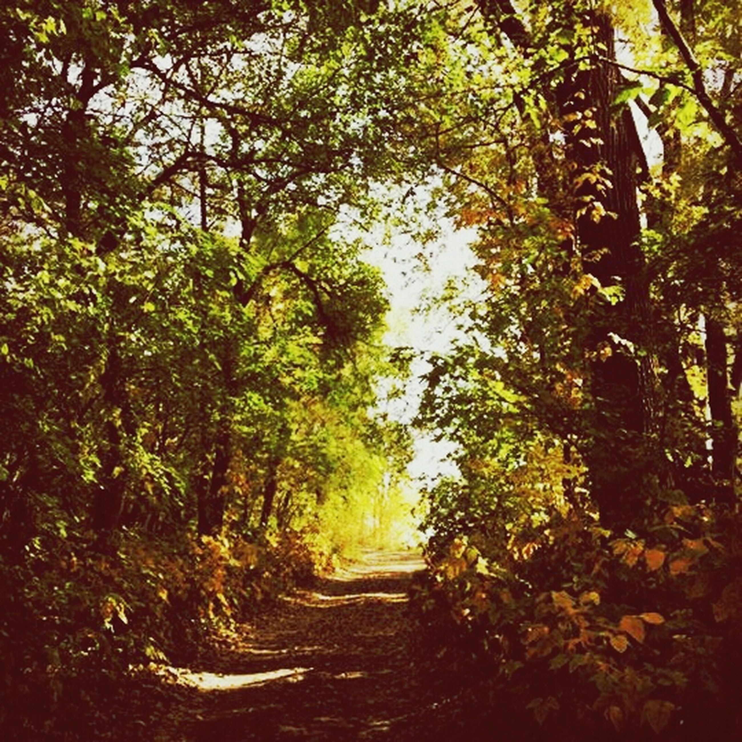 tree, the way forward, growth, tranquility, branch, nature, diminishing perspective, footpath, tranquil scene, beauty in nature, forest, green color, sunlight, vanishing point, pathway, scenics, outdoors, narrow, day, dirt road