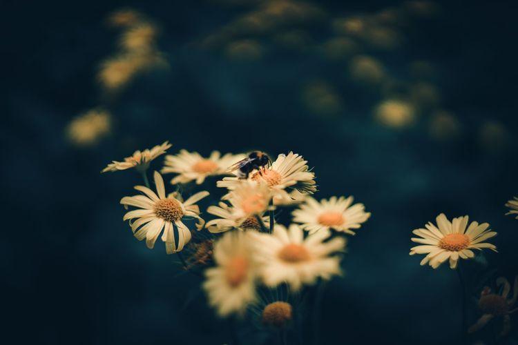 Bumblebee on daisy