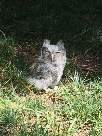 Owls Owl Baby Owl Screech Owl