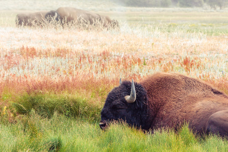 Bison Relaxing On Grassy Field