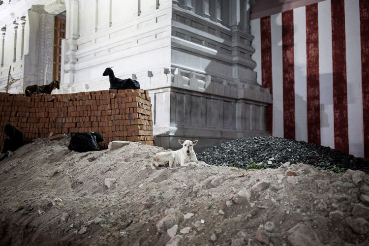 """From """"Dogs never bite me"""" #animal #brique #contemporaryart #contemporaryphotography #dog #EyeEmNewHere #eyembestshot #GOAT #Night #nightshot #red #sand #streetdog #temple #travel #travelphotography #White Animal Themes Animal Wildlife Architecture Built Structure No People Outdoors Perching Pets The Street Photographer - 2017 EyeEm Awards The Street Photographer - 2017 EyeEm Awards"""