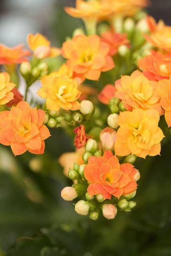 kalnachoe Orange Beauty In Nature Flower Flower Head Fragility Freshness Kalanchoe Nature No People Orange Color Plant