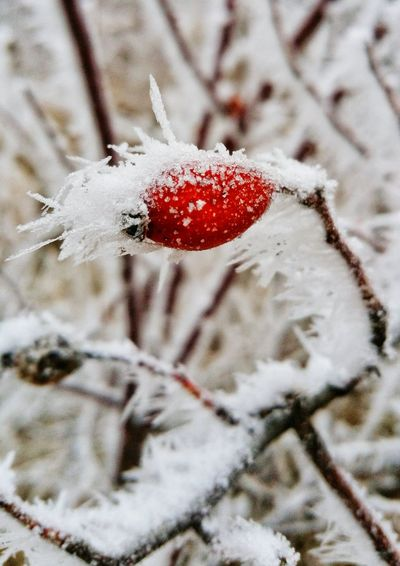 High angle view of red berries on snow