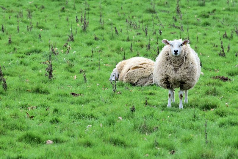 The sheep collection Day Farm Life Farmanimals No People, Outdoors Sheep Sheep Wool Wooly Coat