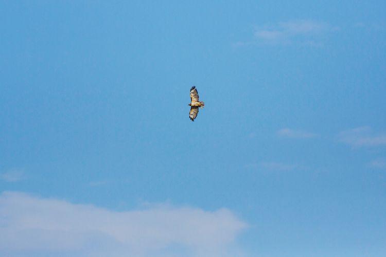 Red tailed hawk soaring Hawk Bird Blue Sky Wings Red Tailed Hawk Bird Flying Blue Mid-air Bird Of Prey Clear Sky Spread Wings Sky