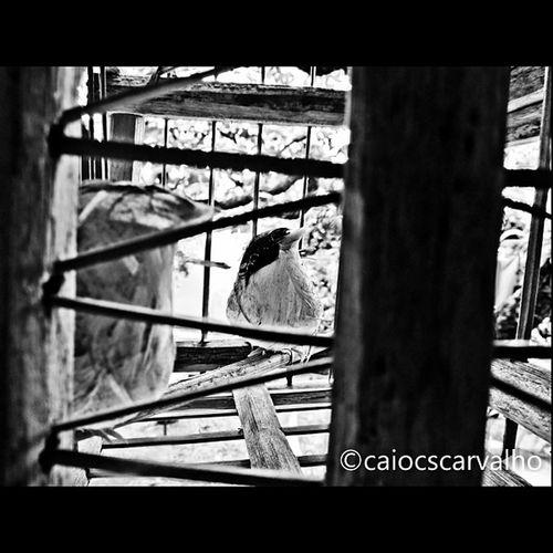 Woodbird Woodbird Bird Wood Blacknwhite bw cool canonsx40hs picoftheday animals jj cage