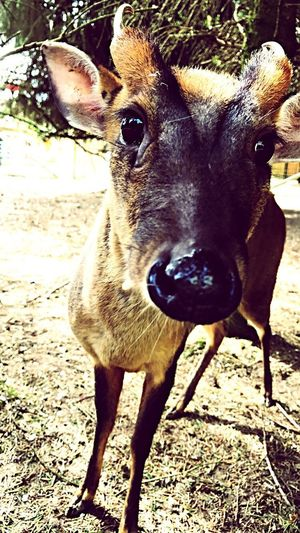 Oh Deer! Animal Themes One Animal Day Looking At Camera Deer Close-up Nature Animal The Wild Wild Wildlife No People Outdoors Domestic Animals Forrest Fox