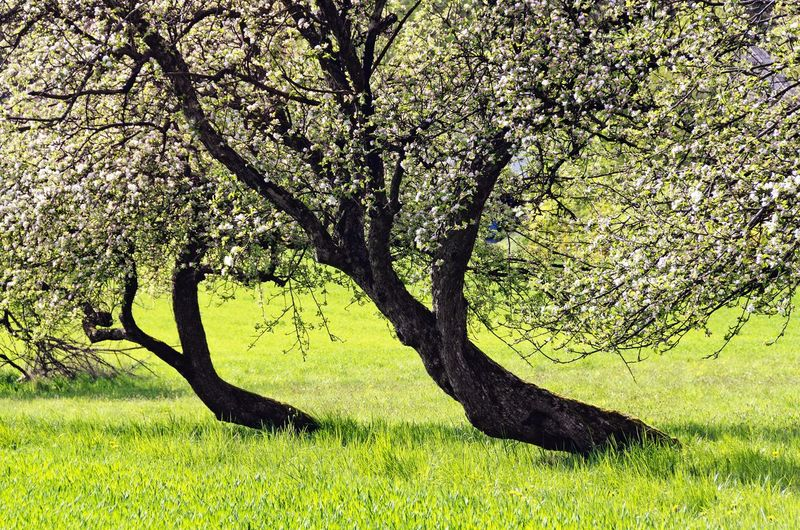 View of cherry tree on field