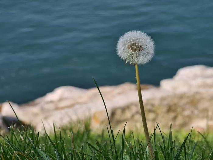 Close-up of dandelion growing on land
