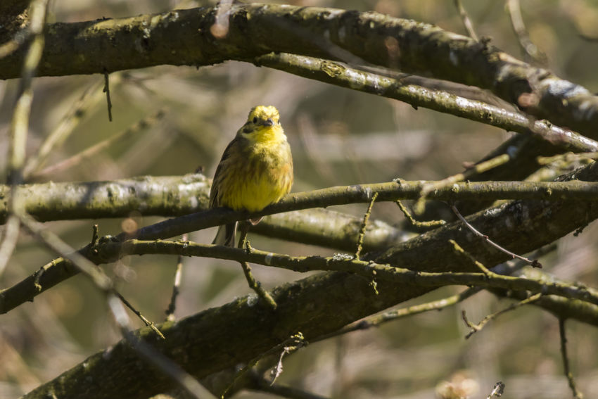 A yellowhammer on a branch Animals In The Wild Birds Of EyeEm  Emberiza Citrinella Landscaper Songbird  Animal Themes Animal Wildlife Animals Animals In The Wild Bird Birds Bunting Day Nature No People One Animal Outdoors Outdoors Photograpghy  Perching Plumage Singingbirds Wildlife