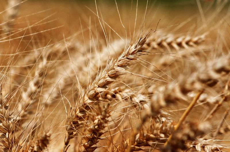Getreide, Grain Grain Field Close-up Plant Agriculture Crop  Nature Growth Plant Land Sunlight Outdoors Day No People Nature Field Cereal Plant Agriculture Farm
