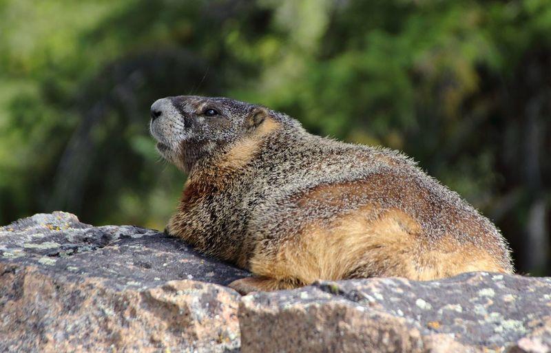 A marmot lies