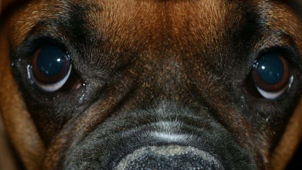 Boxer Dog Beautiful Animal Handsome Creature The Eyes Gentle Brute Pet Portraits