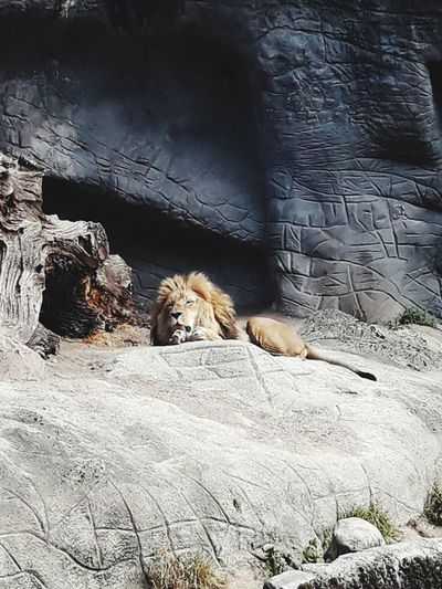 Lion King Lion Zoo Animal Sand Dune Sand Water Rock - Object Animal Themes Rocky Mountains Rock Formation
