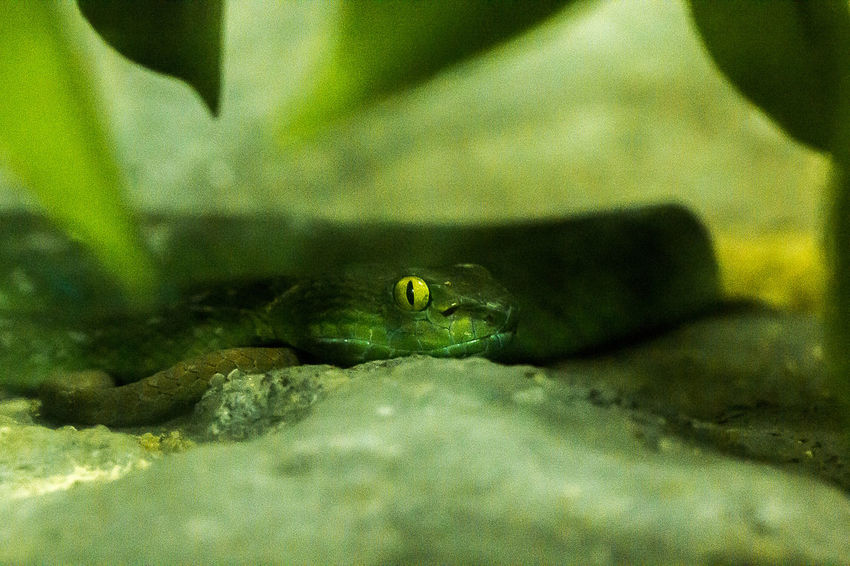 Snake Eyes Snack Amphibian Animal Animal Eye Animal Themes Animal Wildlife Animals In Captivity Animals In The Wild Close-up Day Frog Green Color Marine Nature No People One Animal Outdoors Reptile Rock Selective Focus Snake Eyes Snake Eyes.  Solid Vertebrate Water