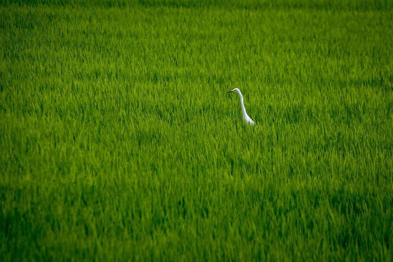 One Animal Green Color Grass Nature Bird Animal Themes Heron Field Animals In The Wild Animal Wildlife No People Day Beauty In Nature Outdoors Tranquility Plant Agriculture Rice Paddy Scenics EyeEm Selects