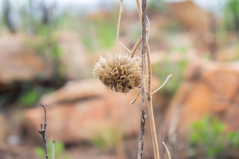 Lions Ear Wild Dagga Focus On Foreground Nature Plant Growth Dried Plant Stem Flower Head Hedianga Farm Magaliesberg Mountains South Africa Beauty In Nature