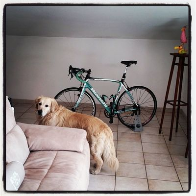 Bianchiinfinito Bianchi Goldenretriever Amiciaquattrozampe triathlon bike training