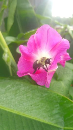 bumble bee Morning Glory Wildflower Pink Flower Drinking Nectar Good Insect Dew Drops Rising Sun Morning Light Soft Focus Flower Head Flower Leaf Pink Color Petal Hibiscus Insect Peony  Close-up Animal Themes Bee Symbiotic Relationship Butterfly - Insect Buzzing Animal Antenna Animal Wing Honey Bee Pollen Bumblebee Pollination Stamen