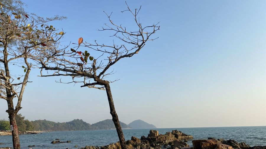 Bare tree by sea against clear sky