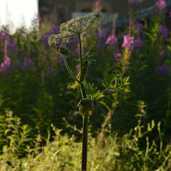 Nature_collection EyeEm Nature Lover Nature On Your Doorstep Nature Photography Macro_collection Macro Photography Evening Sun Cow Parsley EyeEm Best Shots
