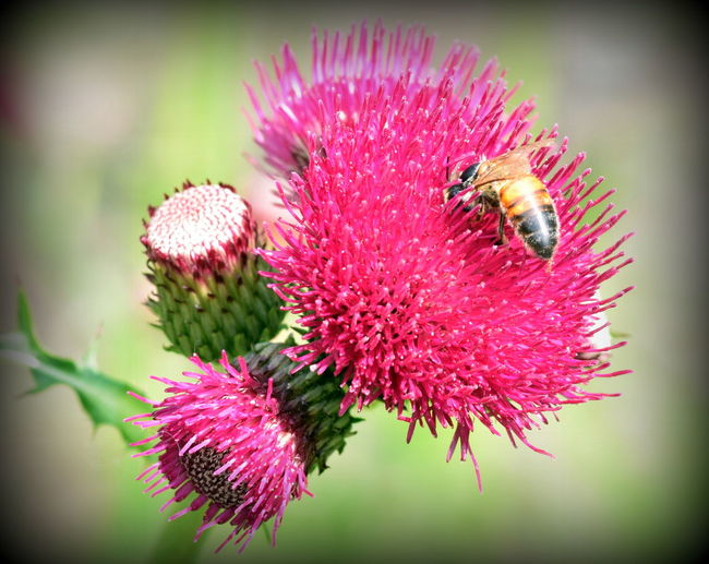 Beauty In Nature Bee Botany Close-up Day Flower Flower Head Focus On Foreground Fragility Freshness Insect Nature Outdoors Pink Color Plant Pollen Pollination Wildlife