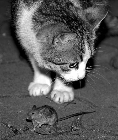 Mouse Tom And